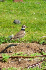 Killdeer (MS)