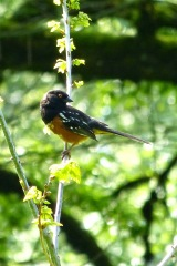 Spotted Towhee (m) (MS)