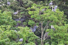 Great Blue Herons nesting (TC)