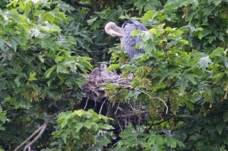 Great Blue Heron nesting (TC)