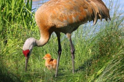Sandhill Crane & chick (TC)