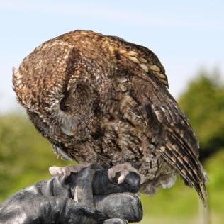 Screech Owl (TC)