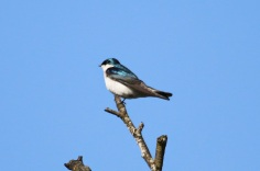 Tree Swallow (TC)