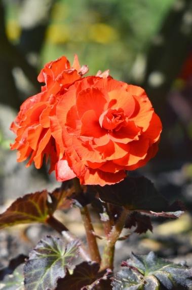 Tuberous Begonia (GB)