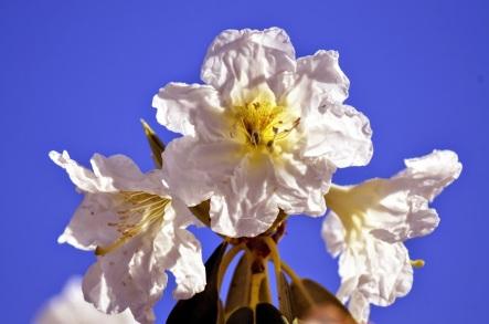 blossom (GB)