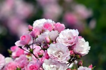 rose (GB)