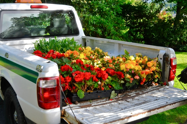 Begonia truck