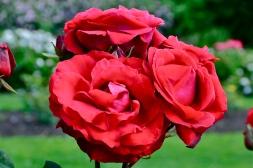 Rose (KB)