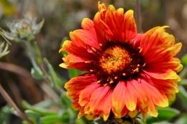Blanket Flower/Gaillardia (KB)