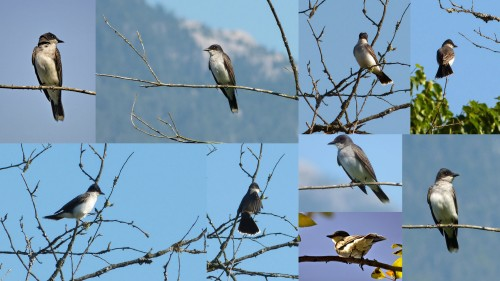 Eastern Kingbird (collage)