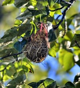 Bullock's Oriole nest (GB)
