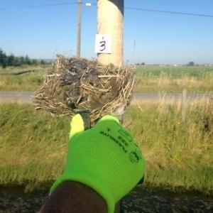 Tree Swallow nest w. 4 dead chicks