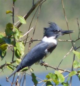 Belted Kingfisher (RM)