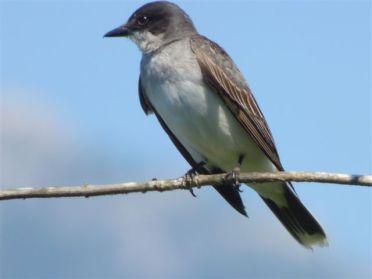Eastern Kingbird (RM)