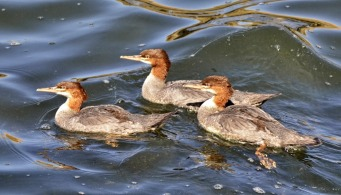 Common Mergansers (GB)