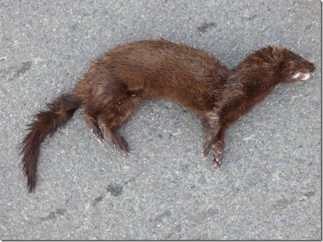 dead Mink at Westham Island (RM)