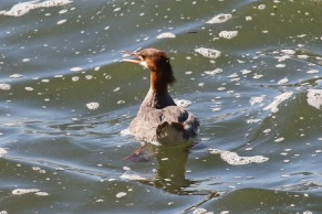 Common Merganser (TC)