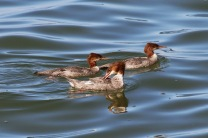 Common Mergansers (TC)