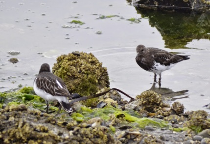 Black Turnstones (GB)