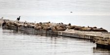 Harbour Seals (GB)