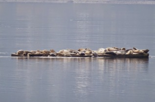 Harbour Seals (GB)
