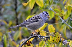 GB_White-crowned%20Sparrow