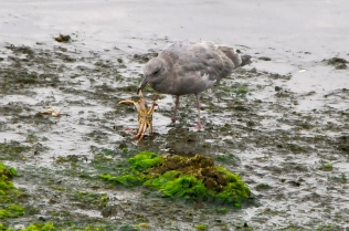 Gull with crab (KB)