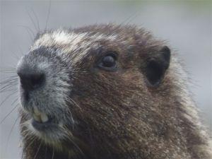 Hoary Marmot (RM)
