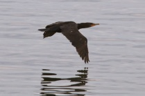 Double-crested Cormorant (TC)