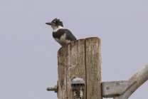 Belted Kingfisher (TC)