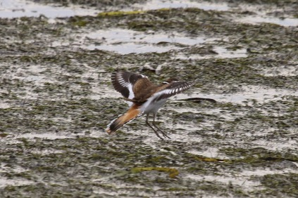 Killdeer (TC)