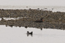 Black Oystercatcher (TC)
