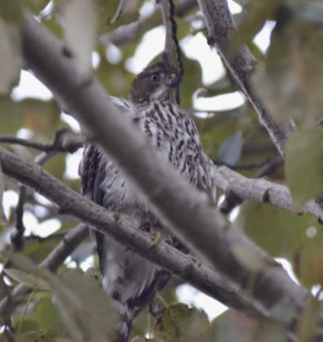 Sharp-shinned Hawk (GB)