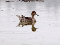Northern Pintail (JM)