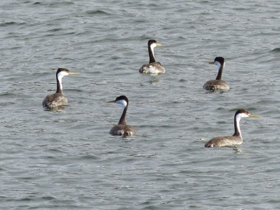 Western Grebes (LS)
