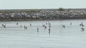 Great Blue Herons (MS)