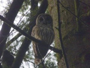 Barred Owl (RM)