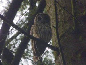 Barred Owl (RM)