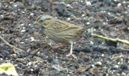 Lincoln's Sparrow (RM)