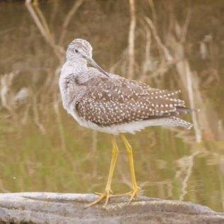 Yellowlegs (RM)