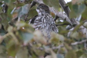 Sharp-shinned Hawk (TC)