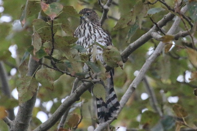 Sharp-shinned Hawk (TC)