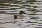 Northern Shoveler (TC)