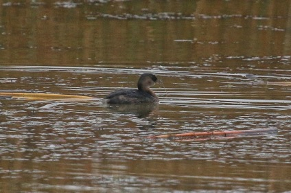 Pied-billed Grebe (TC)