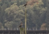 Double-crested Cormorants (TC)