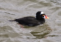 Surf Scoter (TC)