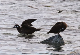 Harlequin Ducks (f) (TC)