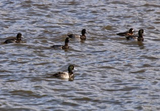 Scaup (TC)