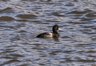 Scaup (m) (TC)