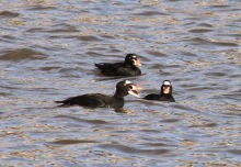 Surf Scoters (TC)